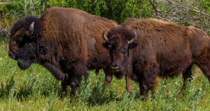 Buffalo Raffle